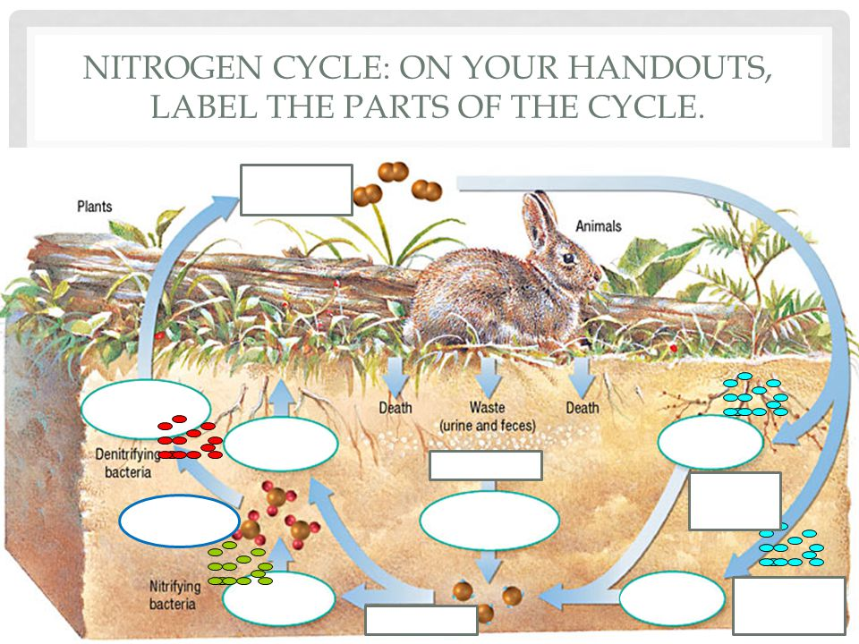 NITROGEN CYCLE: MACRO PERSPECTIVE Ammonification Nitrogen fixation Nitrification Denitrification Assimilation