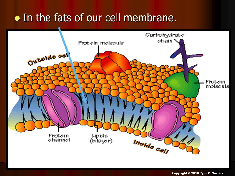 In the fats of our cell membrane. In the fats of our cell membrane. Copyright © 2010 Ryan P. Murphy