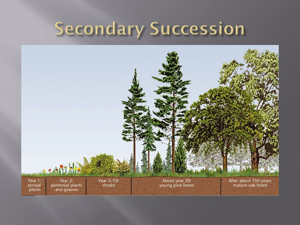  Old-field succession is a type of secondary succession that occurs when farmland is abandoned.  When a farmer stops cultivating a field, grasses an