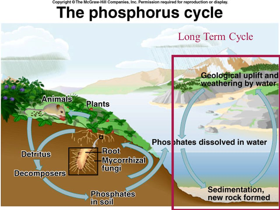 The Phosphorus Cycle The weathering of rocks gradually adds phosphorus to the soil and to the waterways.