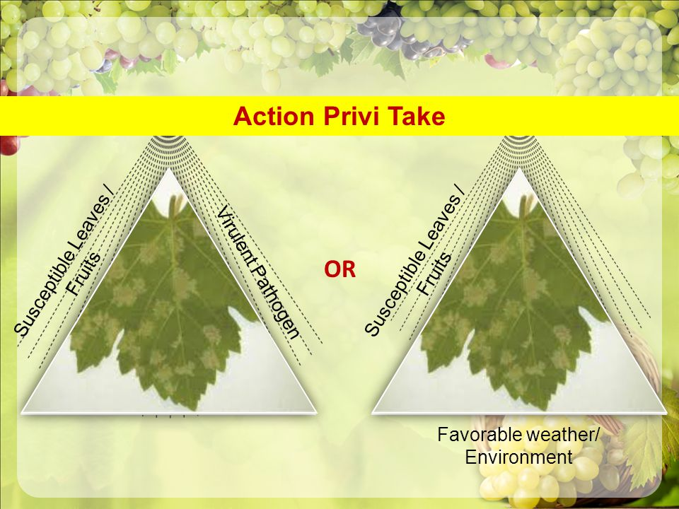 Action Privi Take Susceptible Leaves / Fruits Virulent Pathogen Susceptible Leaves / Fruits Favorable weather/ Environment OR