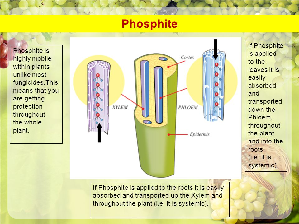 Phosphite is highly mobile within plants unlike most fungicides.This means that you are getting protection throughout the whole plant. If Phosphite is