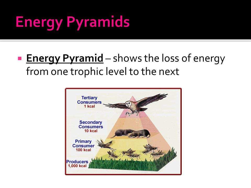  Energy Pyramid – shows the loss of energy from one trophic level to the next