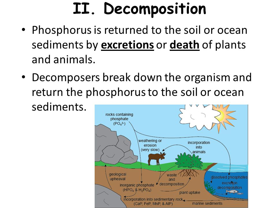 II. Decomposition Phosphorus is returned to the soil or ocean sediments by excretions or death of plants and animals. Decomposers break down the organ