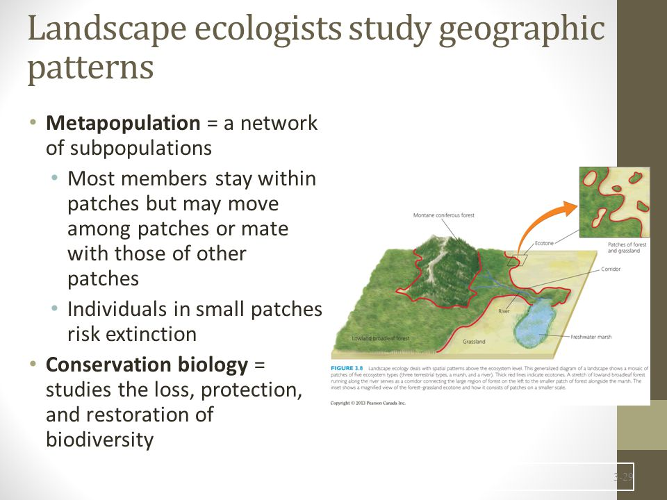 Landscape ecologists study geographic patterns Metapopulation = a network of subpopulations Most members stay within patches but may move among patche