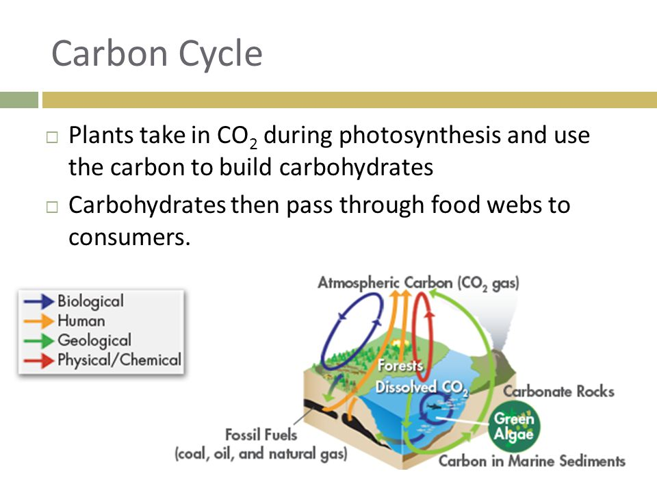 Carbon Cycle  Plants take in CO 2 during photosynthesis and use the carbon to build carbohydrates  Carbohydrates then pass through food webs to cons