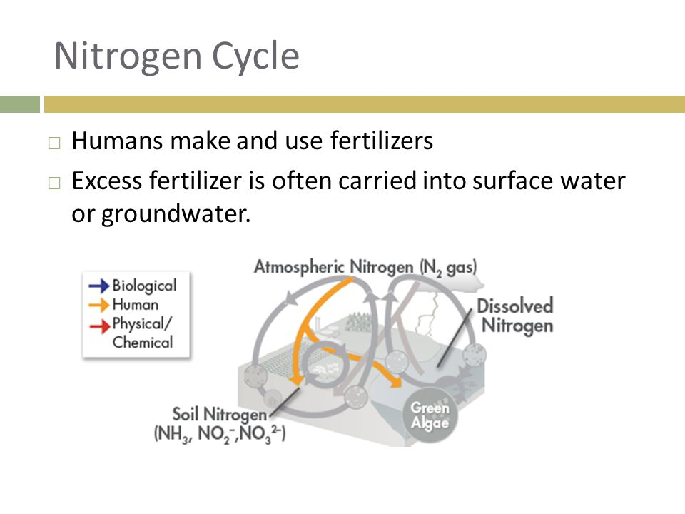 Nitrogen Cycle  Humans make and use fertilizers  Excess fertilizer is often carried into surface water or groundwater.