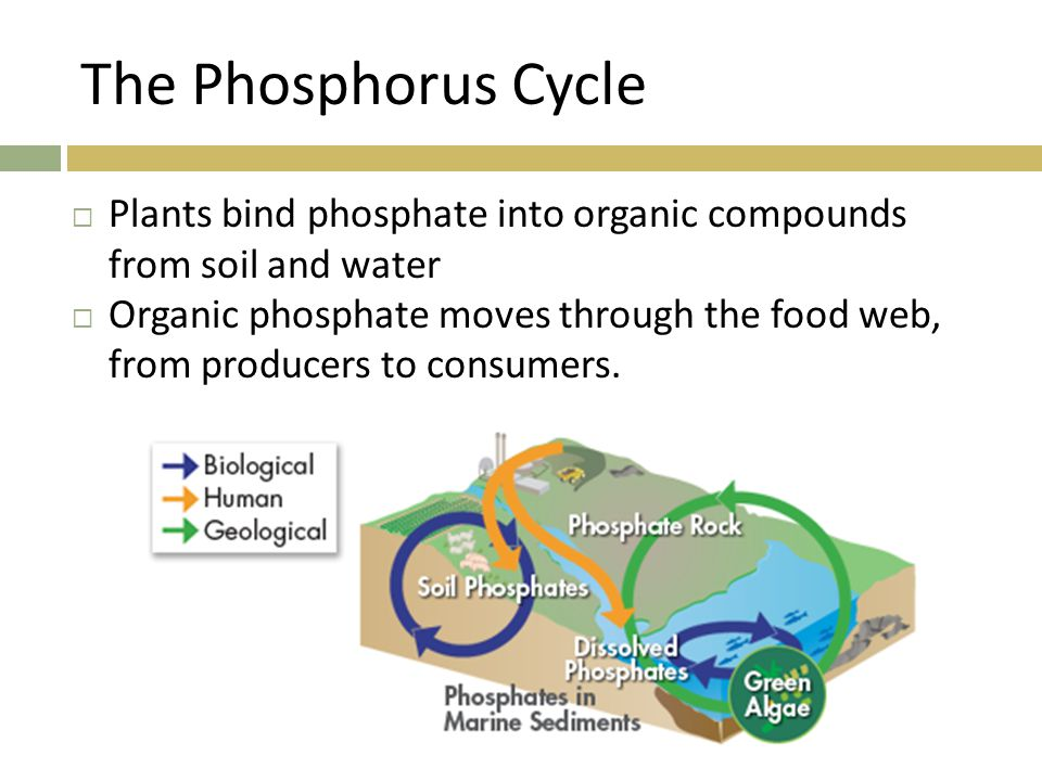 The Phosphorus Cycle  Plants bind phosphate into organic compounds from soil and water  Organic phosphate moves through the food web, from producers to consumers.