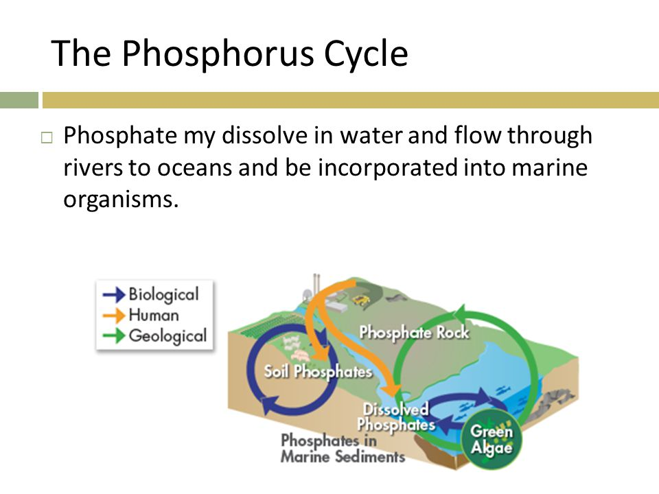 The Phosphorus Cycle  Phosphate my dissolve in water and flow through rivers to oceans and be incorporated into marine organisms.