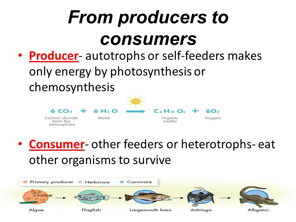 From producers to consumers Producer- autotrophs or self-feeders makes only energy by photosynthesis or chemosynthesis Consumer- other feeders or heterotrophs- eat other organisms to survive