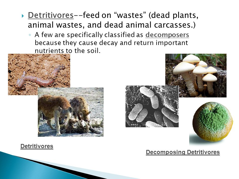  Detritivores--feed on wastes (dead plants, animal wastes, and dead animal carcasses.) ◦ A few are specifically classified as decomposers because they cause decay and return important nutrients to the soil.