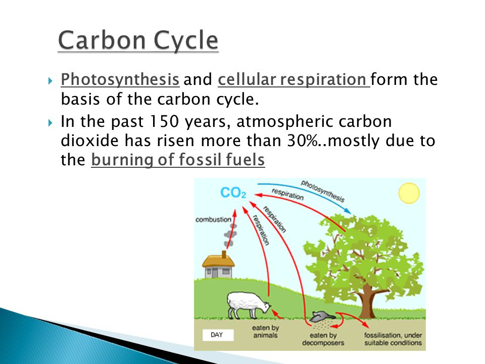  Photosynthesis and cellular respiration form the basis of the carbon cycle.