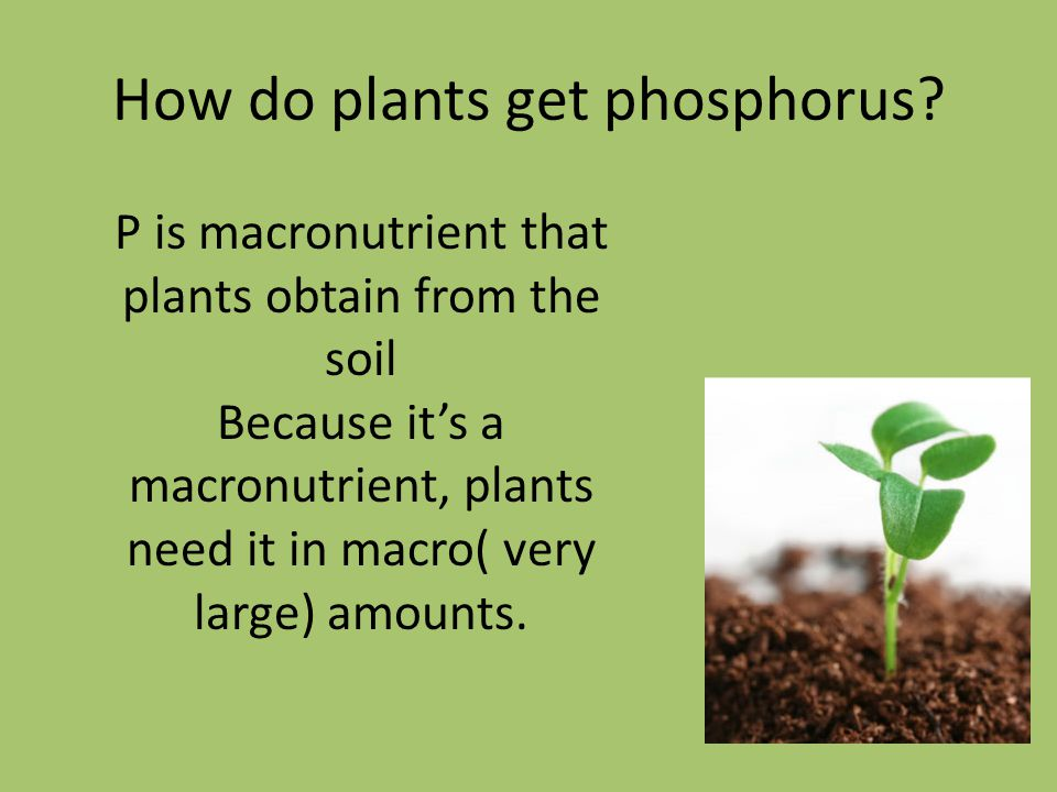 How do plants get phosphorus? P is macronutrient that plants obtain from the soil Because it's a macronutrient, plants need it in macro( very large) a