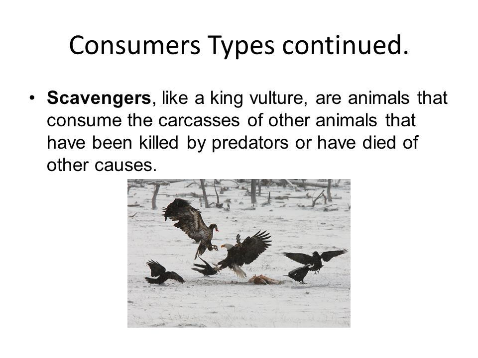 Consumers Types continued. Scavengers, like a king vulture, are animals that consume the carcasses of other animals that have been killed by predators