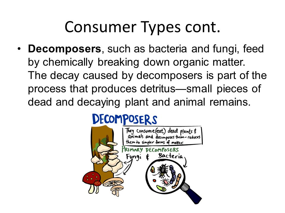 Consumer Types cont. Decomposers, such as bacteria and fungi, feed by chemically breaking down organic matter. The decay caused by decomposers is part