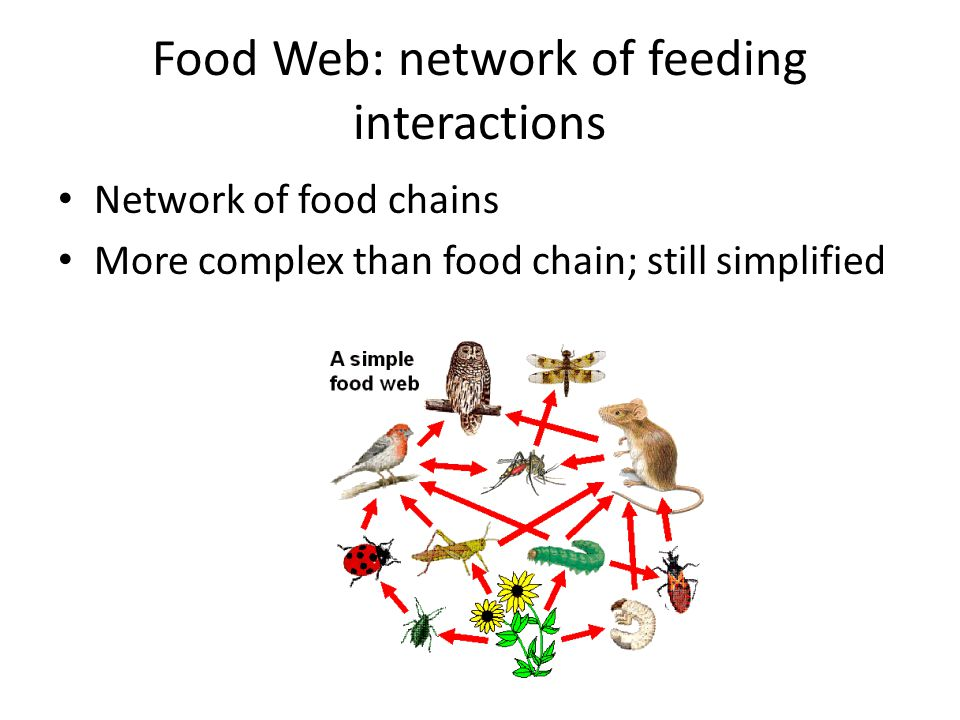 Food Web: network of feeding interactions Network of food chains More complex than food chain; still simplified
