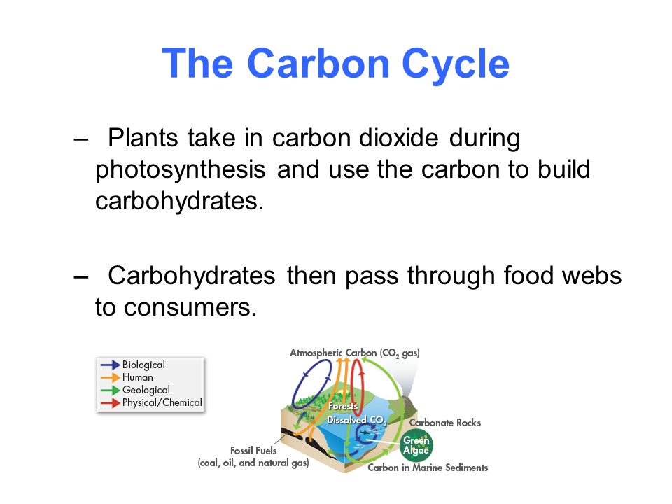 The Carbon Cycle –Plants take in carbon dioxide during photosynthesis and use the carbon to build carbohydrates. –Carbohydrates then pass through food
