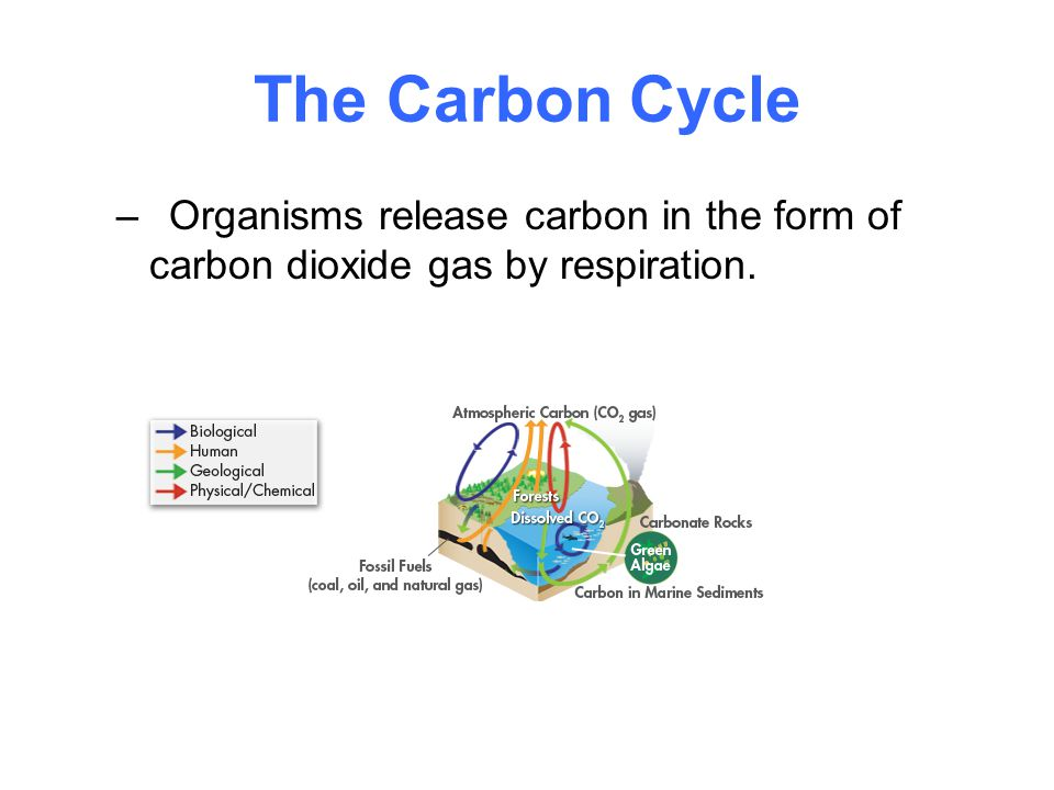 The Carbon Cycle –Organisms release carbon in the form of carbon dioxide gas by respiration.