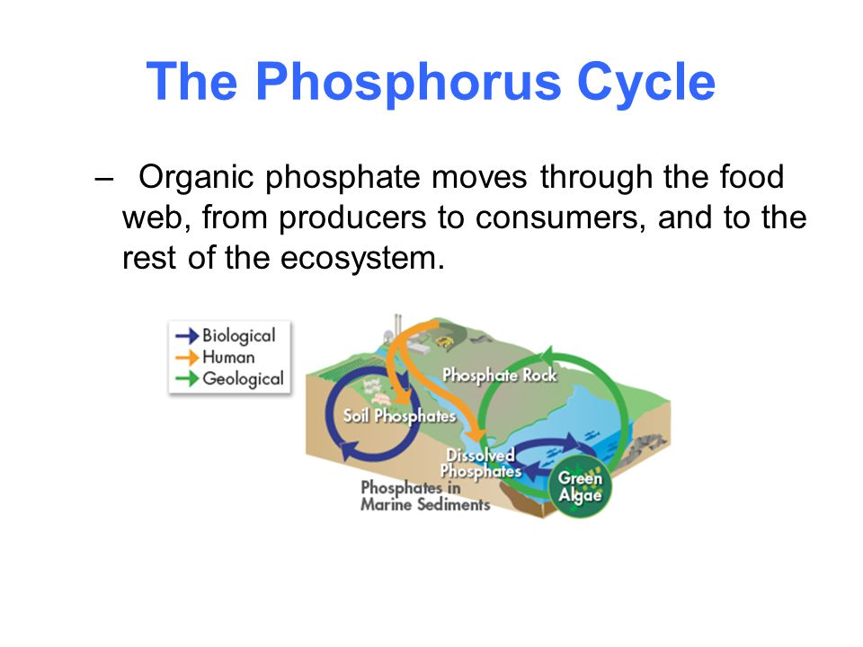 The Phosphorus Cycle –Organic phosphate moves through the food web, from producers to consumers, and to the rest of the ecosystem.