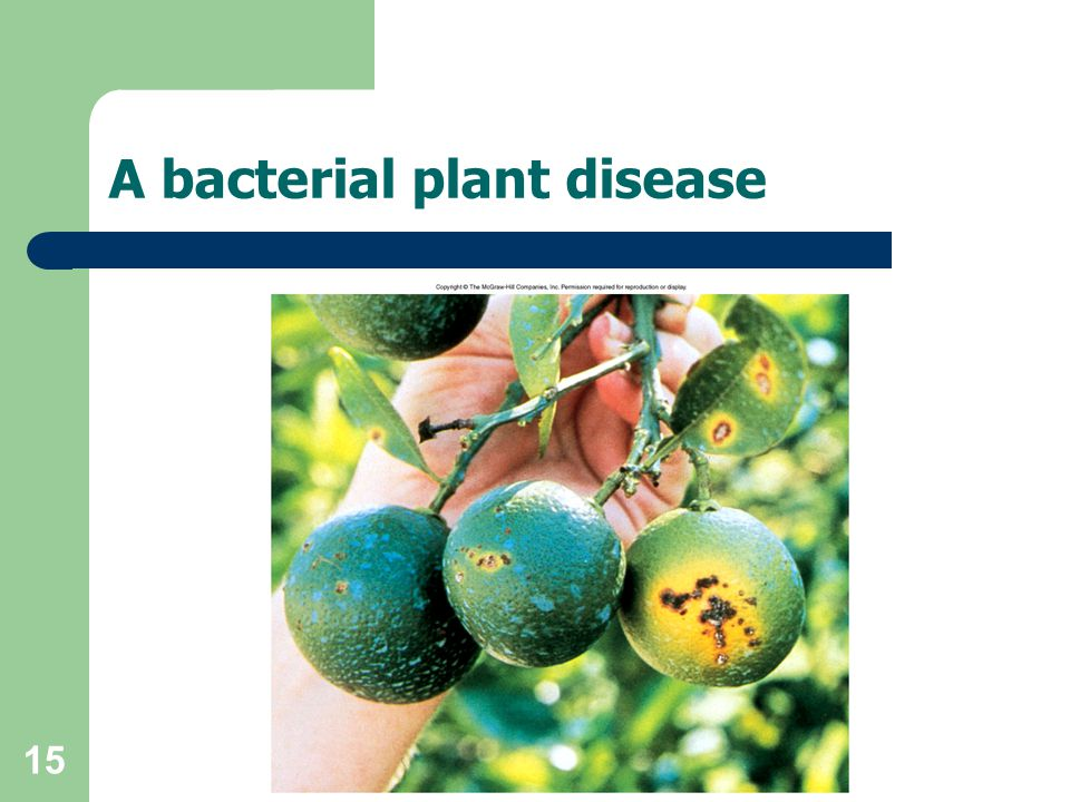 15 A bacterial plant disease