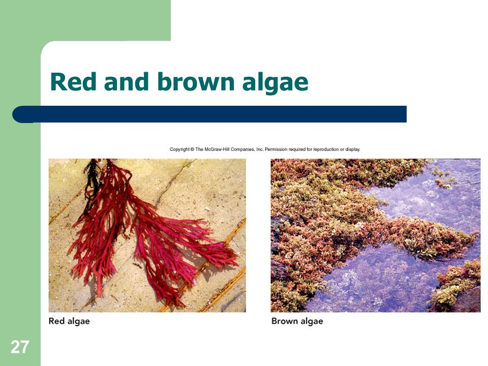 27 Red and brown algae