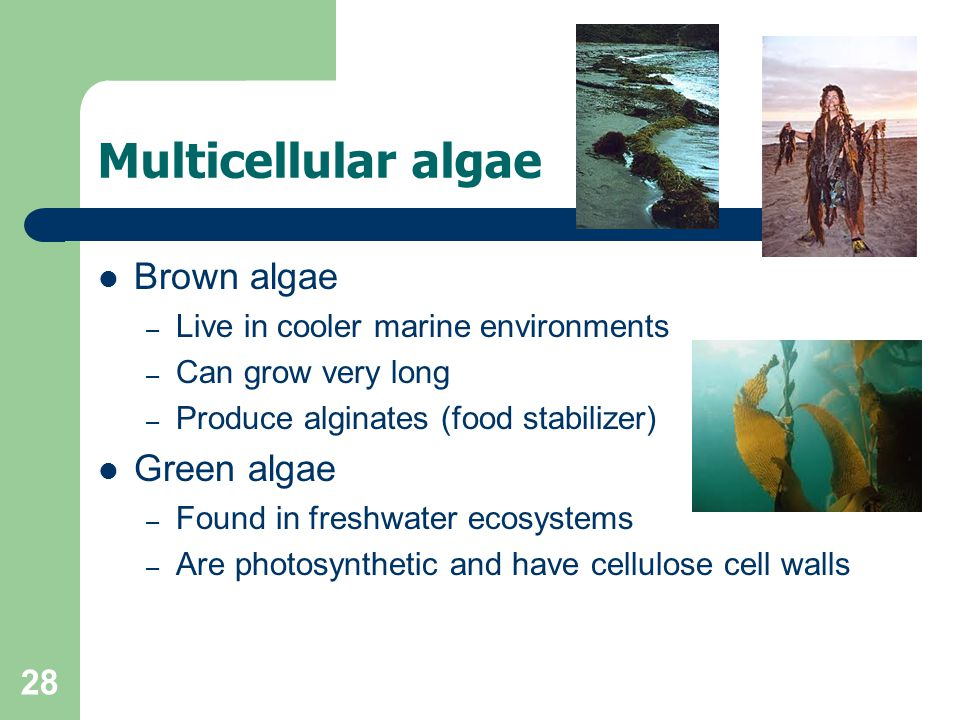 28 Multicellular algae Brown algae – Live in cooler marine environments – Can grow very long – Produce alginates (food stabilizer) Green algae – Found