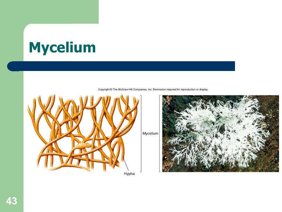 43 Mycelium