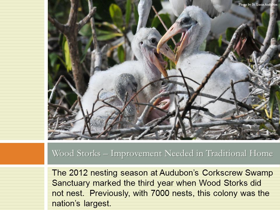 The 2012 nesting season at Audubon's Corkscrew Swamp Sanctuary marked the third year when Wood Storks did not nest. Previously, with 7000 nests, this