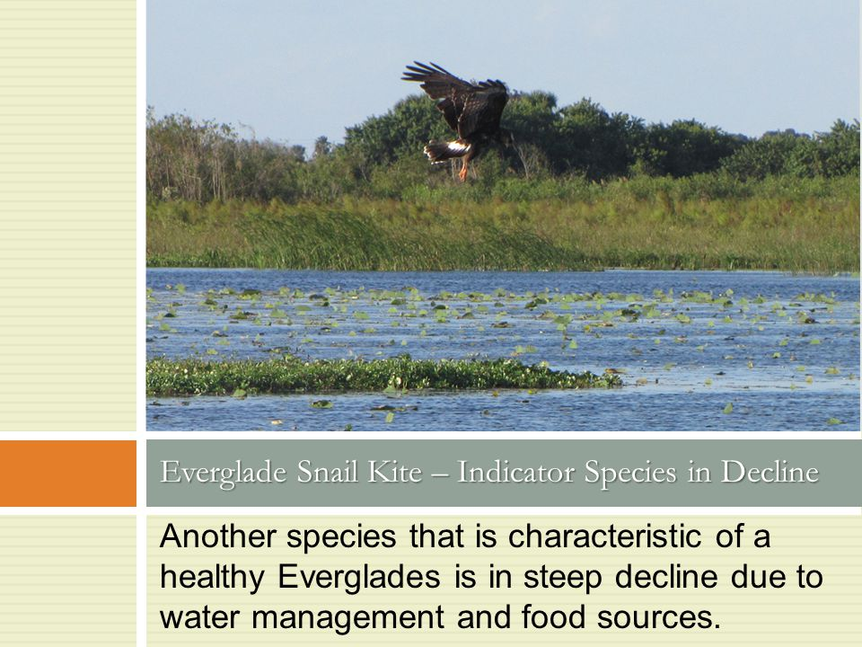 Another species that is characteristic of a healthy Everglades is in steep decline due to water management and food sources. Everglade Snail Kite – In