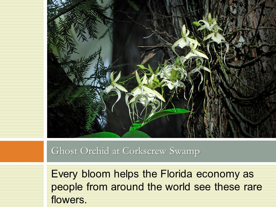 Every bloom helps the Florida economy as people from around the world see these rare flowers. Ghost Orchid at Corkscrew Swamp Photo by Dagmar