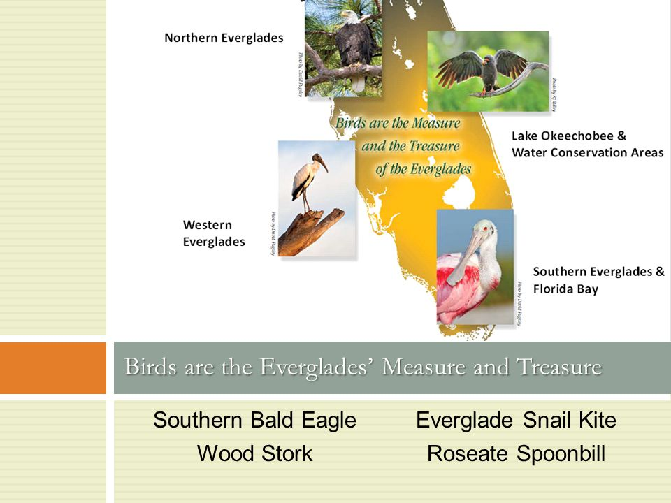 Southern Bald Eagle Wood Stork Everglade Snail Kite Roseate Spoonbill Birds are the Everglades' Measure and Treasure