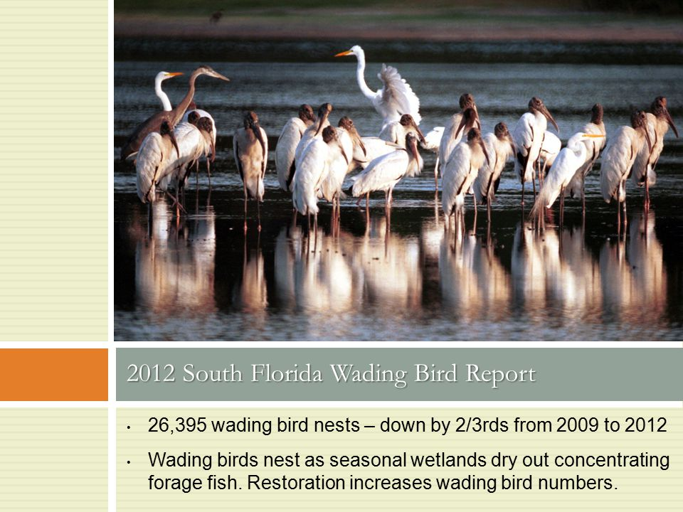 26,395 wading bird nests – down by 2/3rds from 2009 to 2012 Wading birds nest as seasonal wetlands dry out concentrating forage fish. Restoration incr