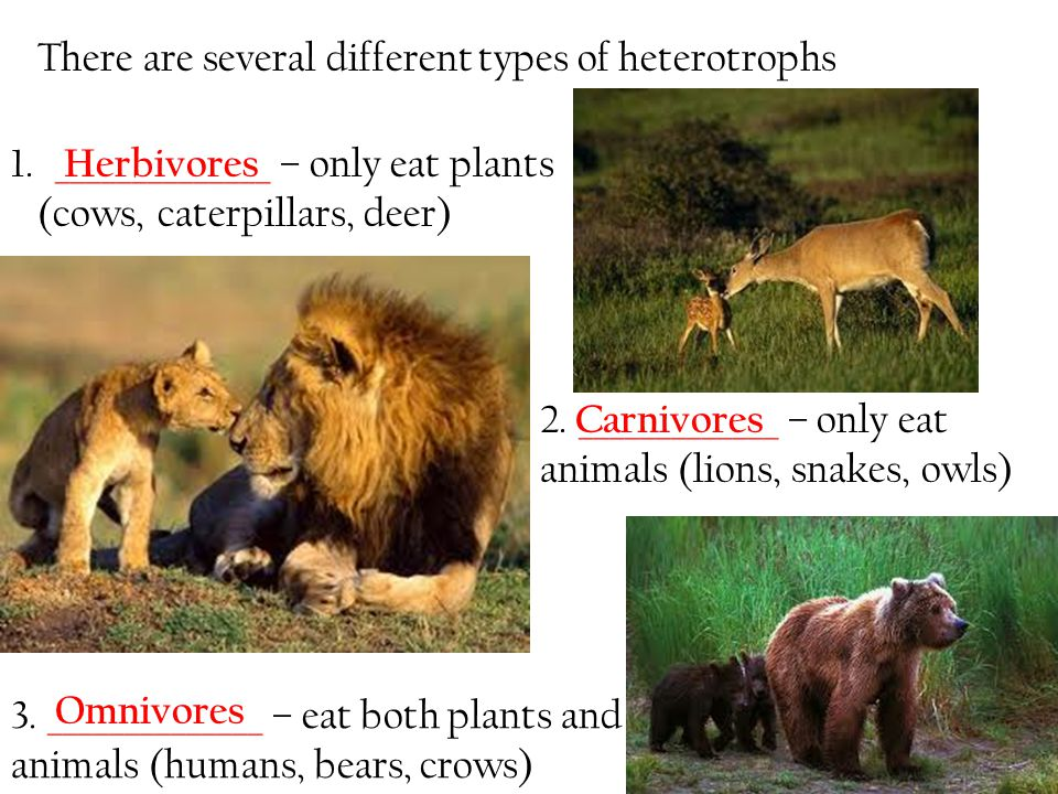 3. ______________ – eat both plants and animals (humans, bears, crows) There are several different types of heterotrophs 1. ______________ – only eat