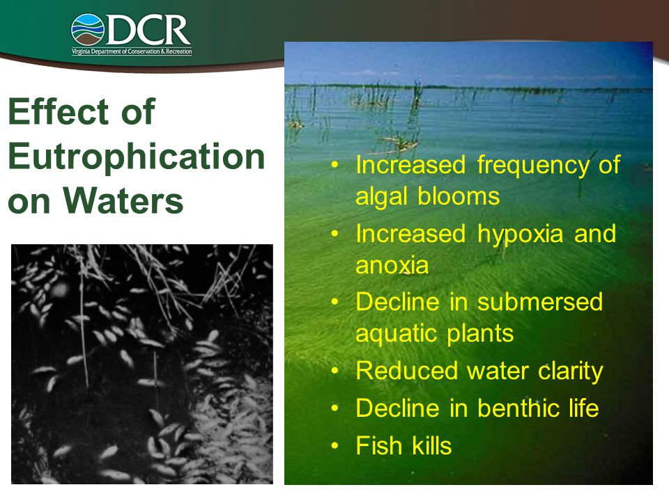 Effect of Eutrophication on Waters Increased frequency of algal blooms Increased hypoxia and anoxia Decline in submersed aquatic plants Reduced water