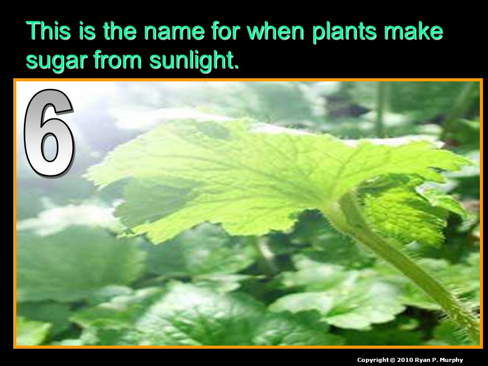This is the name for when plants make sugar from sunlight. Copyright © 2010 Ryan P. Murphy