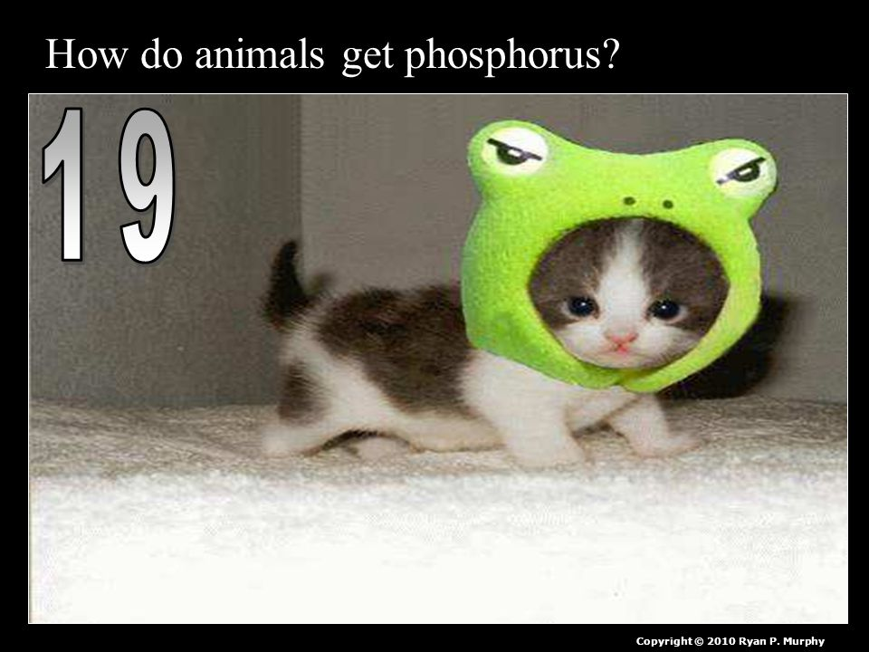 How do animals get phosphorus Copyright © 2010 Ryan P. Murphy