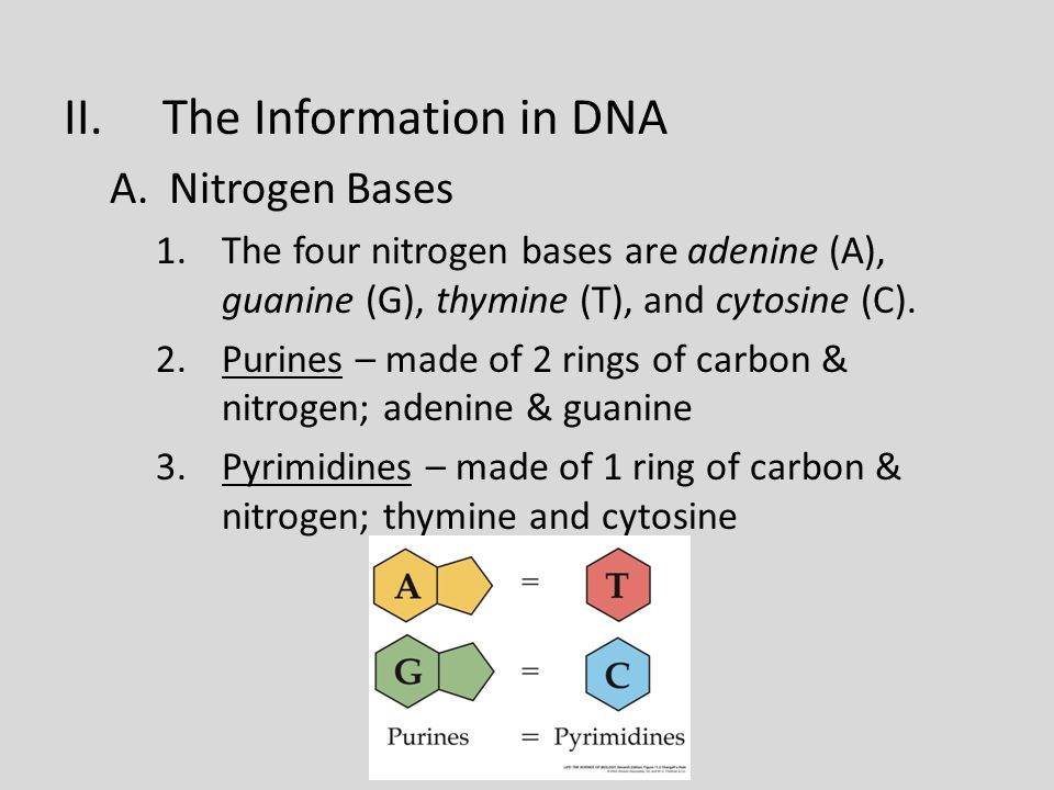 II.The Information in DNA A.Nitrogen Bases 1.The four nitrogen bases are adenine (A), guanine (G), thymine (T), and cytosine (C).