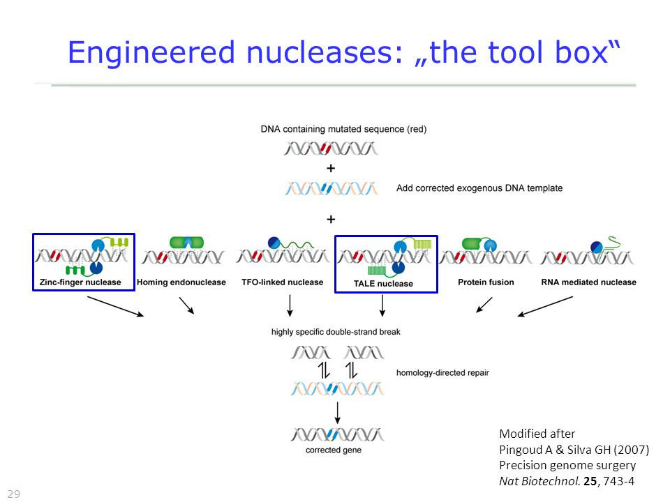 "29 Engineered nucleases: ""the tool box Modified after Pingoud A & Silva GH (2007) Precision genome surgery Nat Biotechnol."