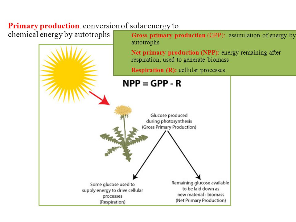 Primary production: conversion of solar energy to chemical energy by autotrophs Gross primary production (GPP): assimilation of energy by autotrophs N