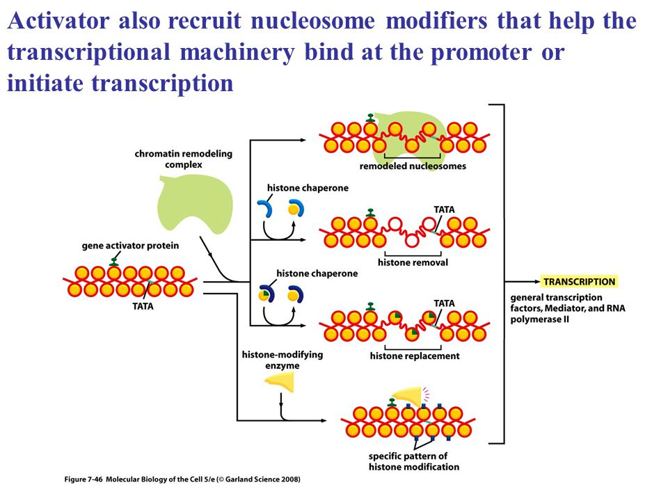 Activator also recruit nucleosome modifiers that help the transcriptional machinery bind at the promoter or initiate transcription