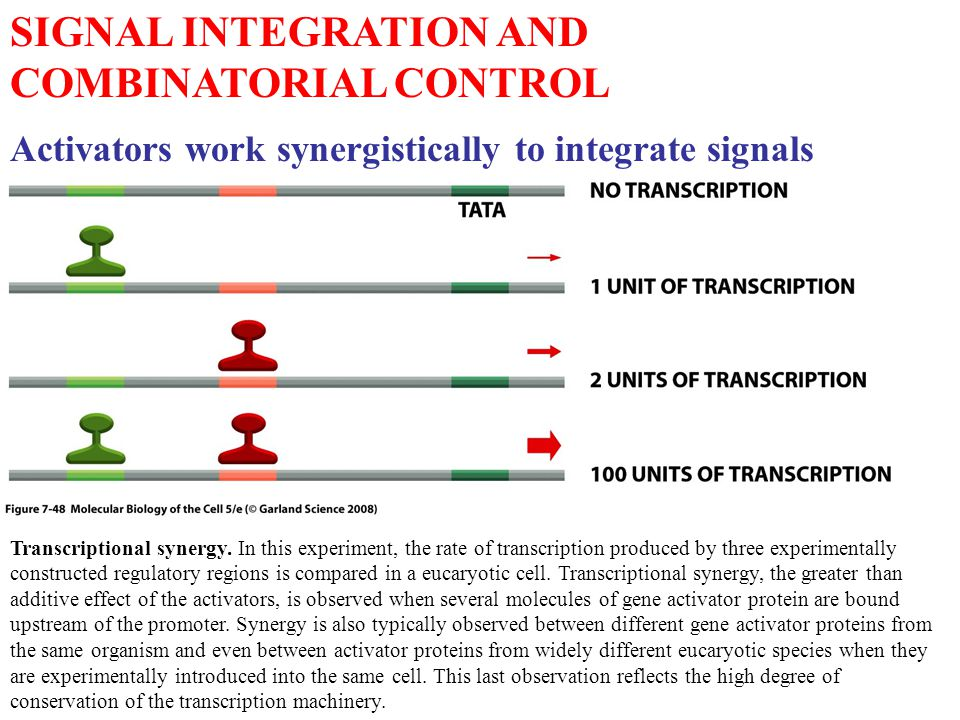 SIGNAL INTEGRATION AND COMBINATORIAL CONTROL Activators work synergistically to integrate signals Transcriptional synergy.