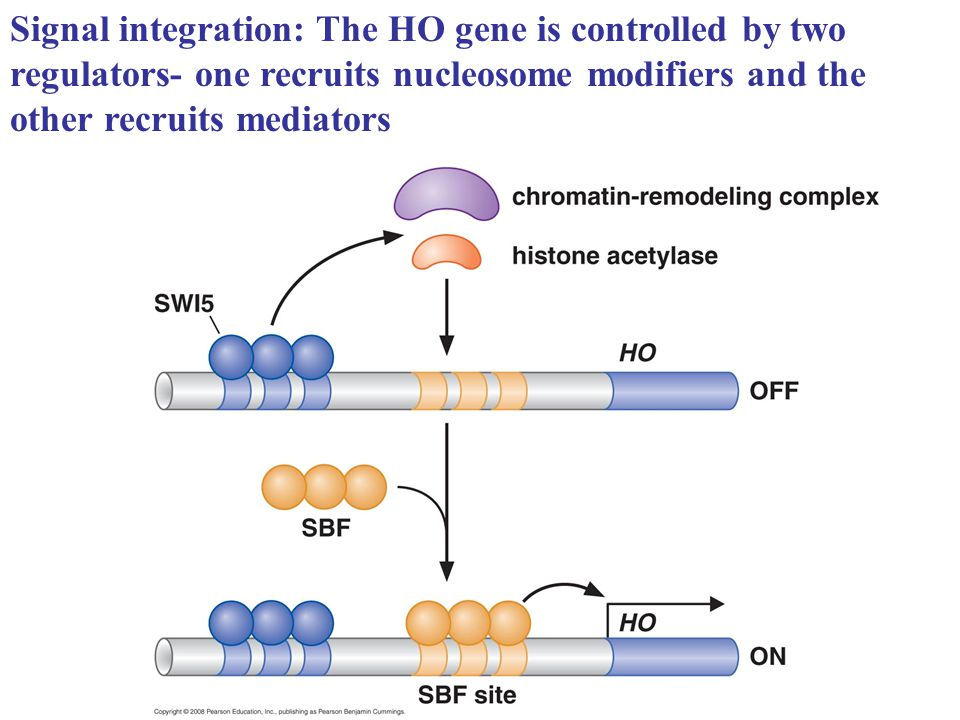 Signal integration: The HO gene is controlled by two regulators- one recruits nucleosome modifiers and the other recruits mediators