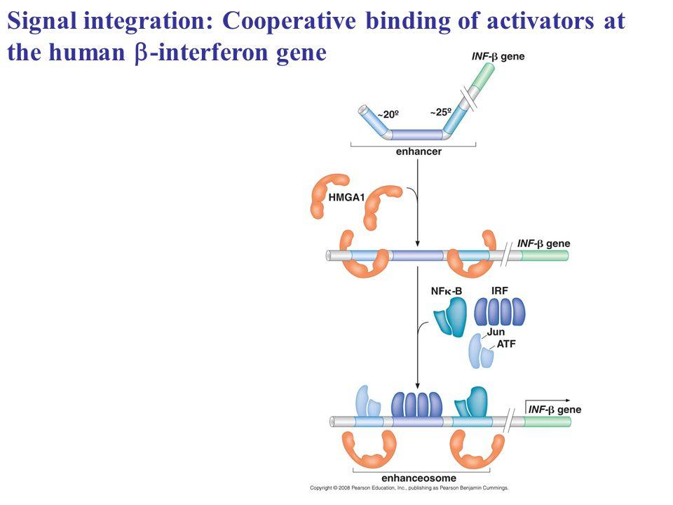 Signal integration: Cooperative binding of activators at the human  -interferon gene