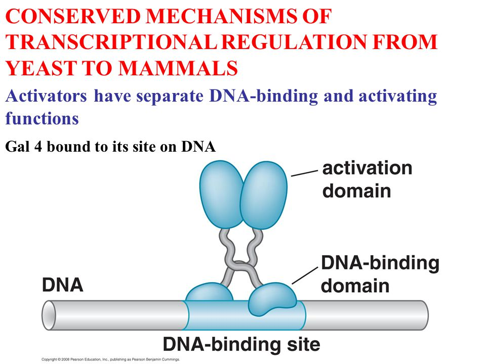 CONSERVED MECHANISMS OF TRANSCRIPTIONAL REGULATION FROM YEAST TO MAMMALS Activators have separate DNA-binding and activating functions Gal 4 bound to its site on DNA