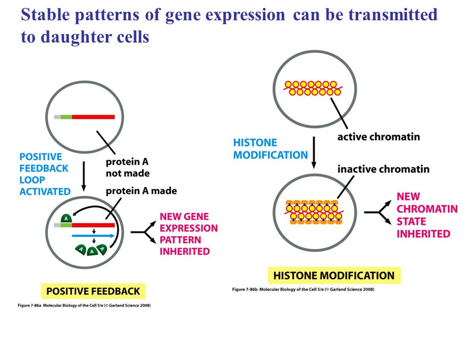 Stable patterns of gene expression can be transmitted to daughter cells