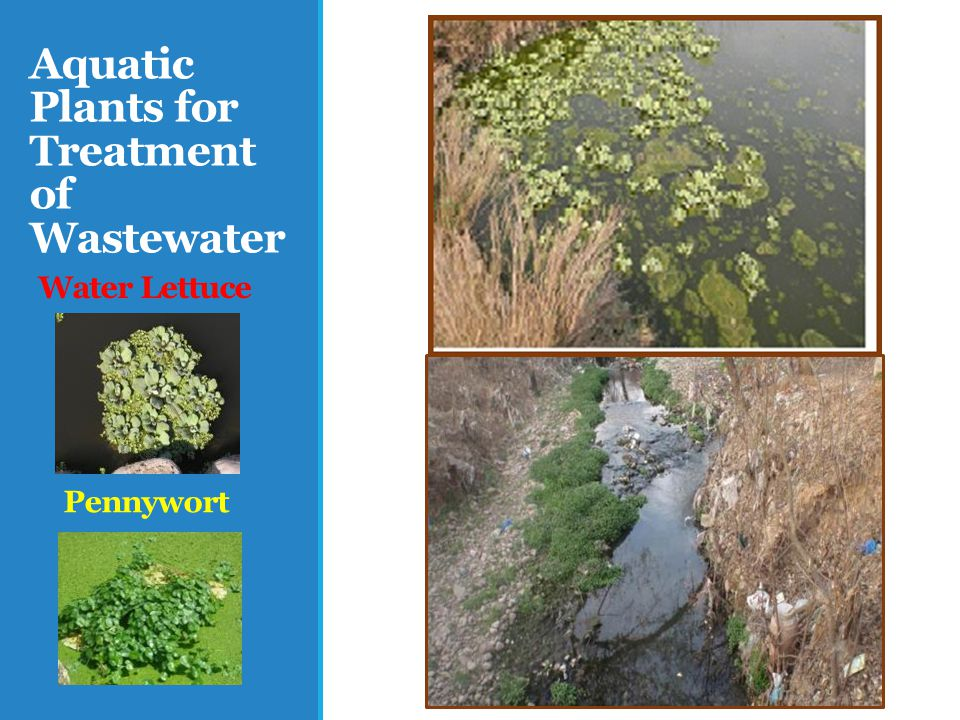Aquatic Plants for Treatment of Wastewater Water Lettuce Pennywort