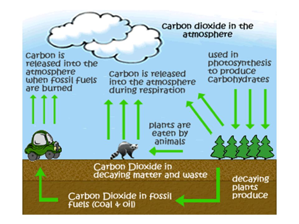 Carbon Cycle How does carbon returns to environment from the biotic world.