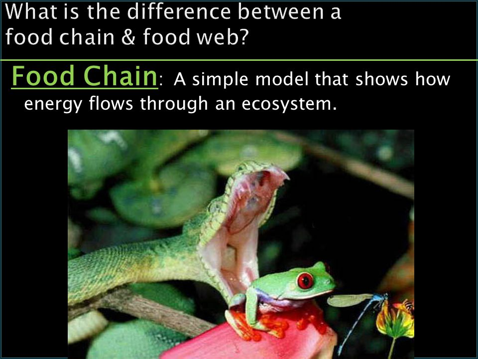 What is the difference between a food chain & food web.