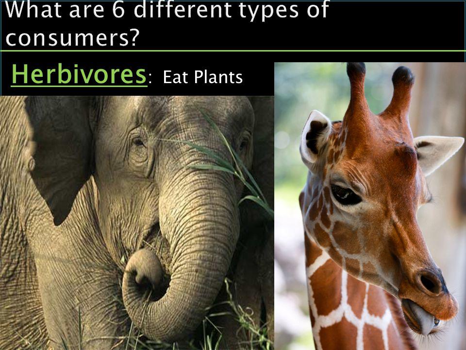 Herbivores : Eat Plants