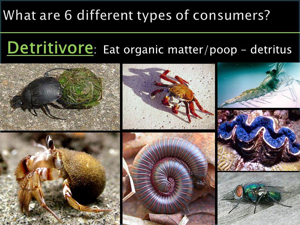 Detritivore : Eat organic matter/poop – detritus